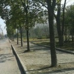 中国の街路樹の植え方が適当すぎる!