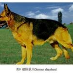 中国の狼犬