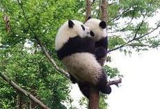 中国の木登りする子パンダが可愛らしすぎる画像