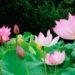 """中国の人に愛されている""""ハスの花""""のある公園"""