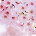 【愕然】中国流お花見の楽しみ方