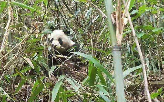安徽省に野生のパンダ出没?
